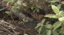 Mongoose Hiding Under Bushes.