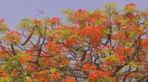 Looking Up At Flowers Of Royal Poinciana Tree