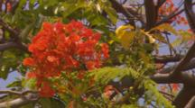Lock-Off Close Up Of Royal Poinciana With Orange Leaves.