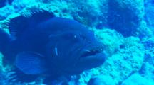 Grouper On Reef With Mouth Opened, Being Cleaned