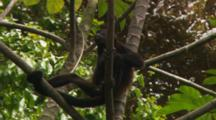 Mantled Howler Monkey (Alouatta Palliata) Climbing Tree And Eating Flowers