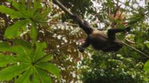 Group Of Howler Monkeys (Alouatta Palliata) Playing In Trees And Eating Flowers