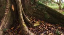 Zoom In Of Fer De Lance Snake (Bothrops Atrox) Resting Against Large Tree Roots.