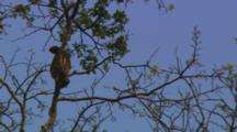 Three-Toed Sloth Moves Around In Top Of Tree, Blue Sky
