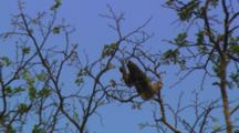 Three Toed Sloth Moves Over Branches And Eats Leaves