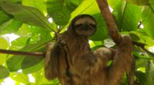 Male Three-Toed Sloth In Tree With Big Green Leaves.