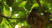 Three-Toed Sloth (Bradypus Sp.) Hanging In Tree With Green Leaves