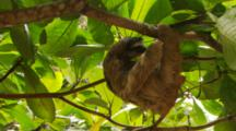 Male Three-Toed Sloth Hanging From Tree Branches With Background Of Huge Green Leaves.
