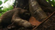 Three Toed Sloth (Bradypus Sp.)  Walking Around Base Of Tree And Playing In Leaves.