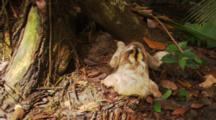 Three Toed Sloth Defecates At Base Of Tree