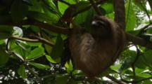 Three Toed Sloth (Bradypus Sp.) Climbing Around Tree With Big Green Leaves.