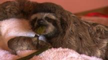 Baby Three-Toed Sloth Feeding At Rehab Center.