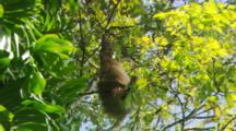 Two-Toed Sloth Eating Leaves.