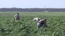 Field Workers Weeding In Artichoke Fields In Salinas Valley.