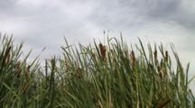 Cattails In A Pond.
