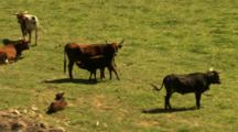 Longhorn Cattle Grazing.