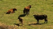 Longhorn Cattle Grazing. Mother With Calf.