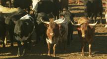 Several Longhorn Cows And Cattle At A Stockyard Near Lovelock, Nevada.
