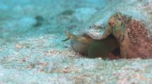 Close Up Of A Conch Shell Lying In The Sand With Proboscis Hunting For Food