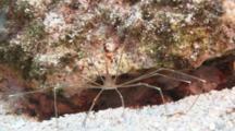 Arrow Crab Feeding In Cayman Island.