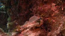 Juvenile Spotted Drum Fish Swimming Around Near Colorful Coral.