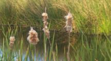 Cattail Reeds In Foreground