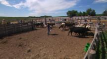 Hand Held Shot Of A Rancher Herding Longhorn  And Young Calves In A Farm Pen. Max, Nebraska.