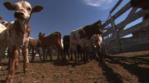 Hand Held Shot Of A Herd Of Longhorn Calves In A Farm Pen Facing The Camera. Max, Nebraska.
