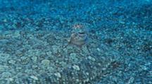 A Rainbow Flounder Lays Camouflaged On The Ocean Floor.