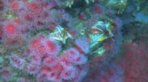 Strawberry Anemone (Corynactis Californica) And Giant Barnacle (Balanus Nubilus) On Reef. Feeding