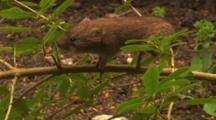 Vole, Travelling A Branch,