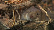 Vole, Motionless, Smell,