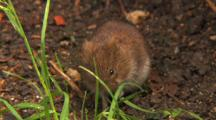 Vole, Smell, Eating,