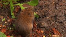 Vole, Eating,