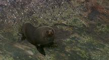 Fur Seal On Rocks, Moves Toward Water