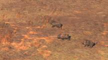 Aerial Of Wild Pigs Running Through Reeds