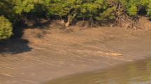 Salt Water Crocodile Runs Into The Water