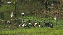 Magpie Geese Take Flight