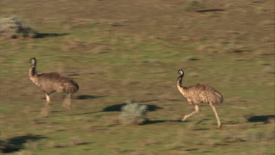Emus Run Across Bush, Field
