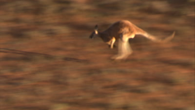 Red Kangaroo Hops Through Desert