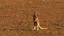 Red Kangaroo In Desert