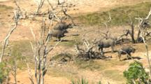 Small Herd Of Australian Buffalo