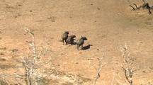 Australian Buffalo Run Through Desert