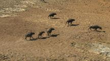 Australian Buffalo Run Through Desert