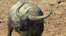 Australian Buffalo In Desert