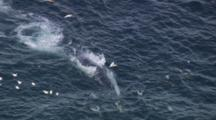 Aerial Whale And Dolphins Feeding, Birds Diving