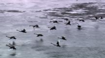 Aerial Shot, Flock Of Swans, Possibly Black Swans, Flying
