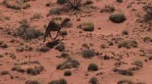 Aerial Camels Running Through Australian Desert