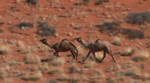 Aerial Camels Running Through Australian Desert