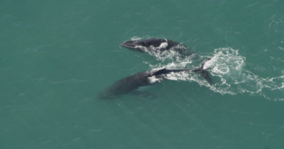 Aerial,Humpback Whales Swim On Surface,One Spy hops